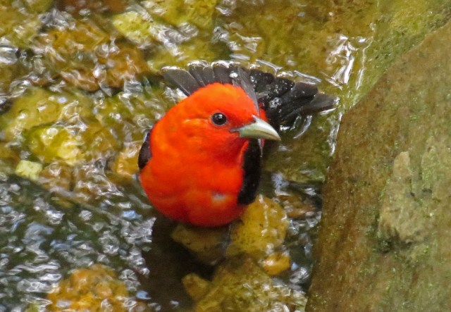 tanager5