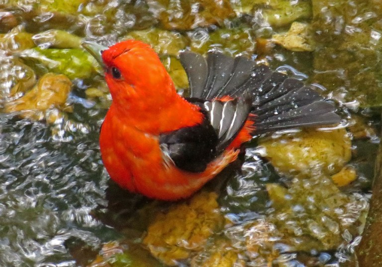 tanager6