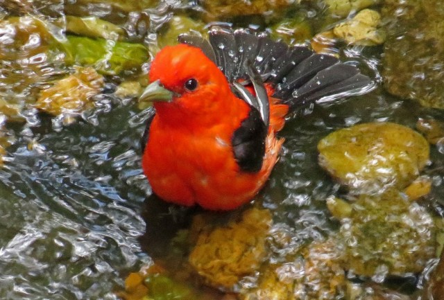 tanager8