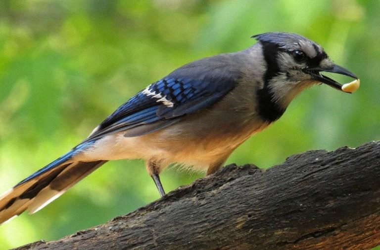 bluejay1