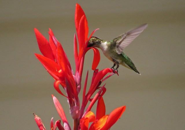 hummingbird7