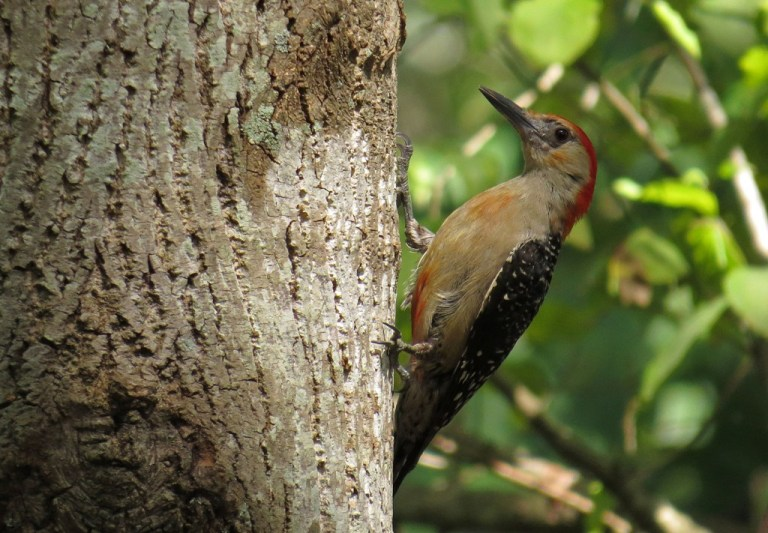 red-bellied1
