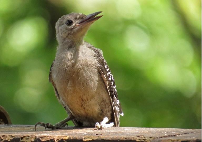 woodpecker5