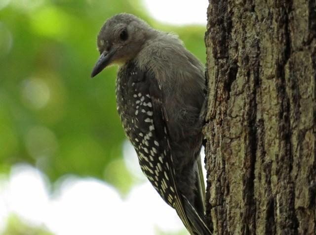 woodpecker6