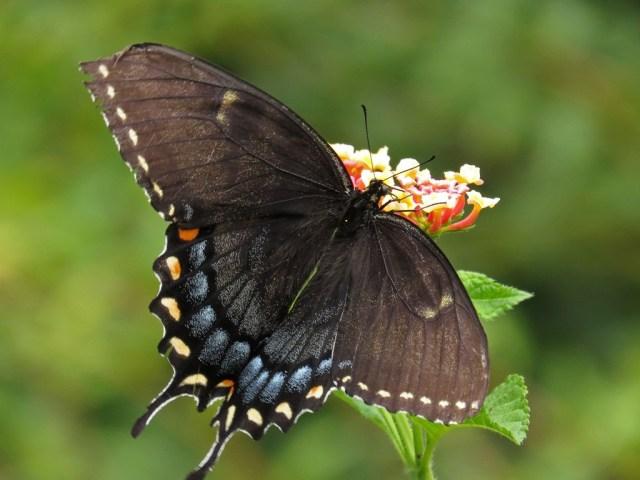 swallowtail10