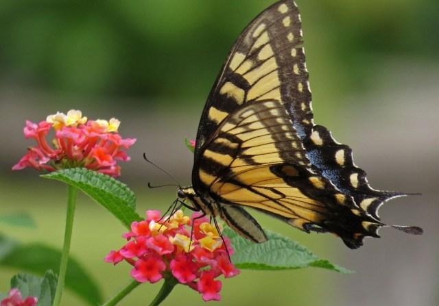 swallowtail2