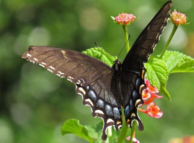 swallowtail7
