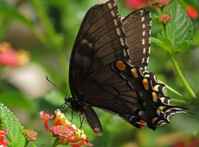 swallowtail9