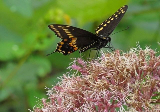 blackswallowtail1