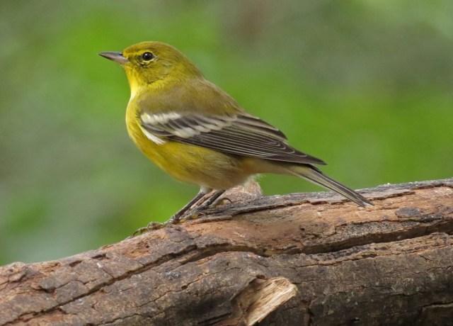 pinewarbler