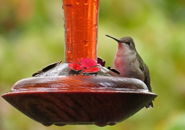 red-throatedhummingbird
