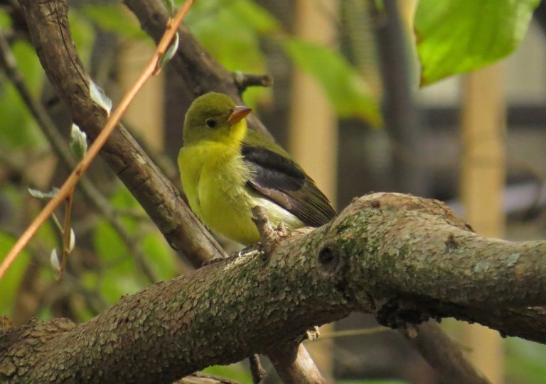 tanager4