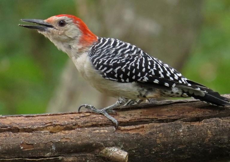 woodpecker3