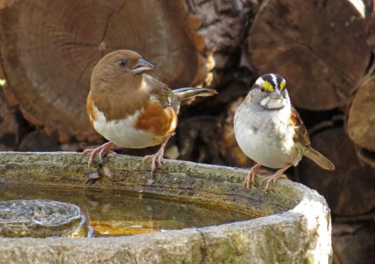 towheesparrow