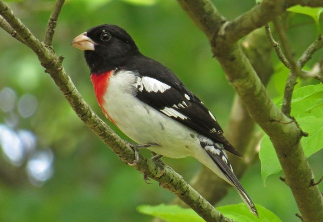 April - Rose-breasted Grosbeak