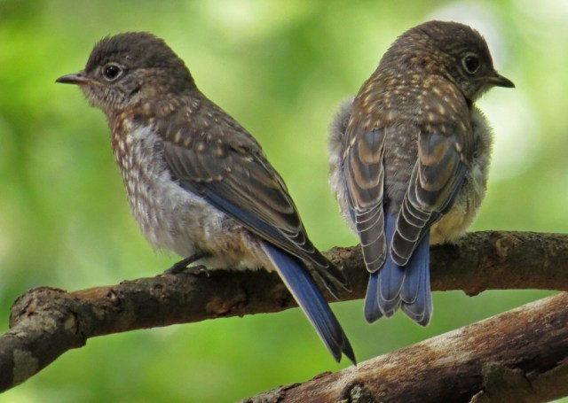 August - Eastern Bluebirds