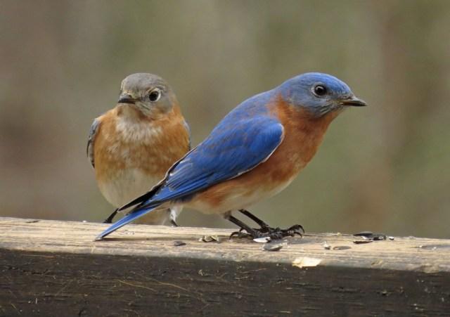 bluebird14