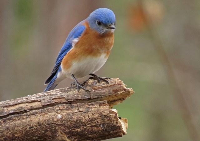 bluebird2