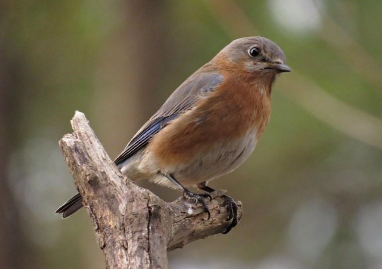 bluebird9