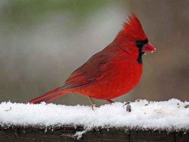 February - Northern Cardinal