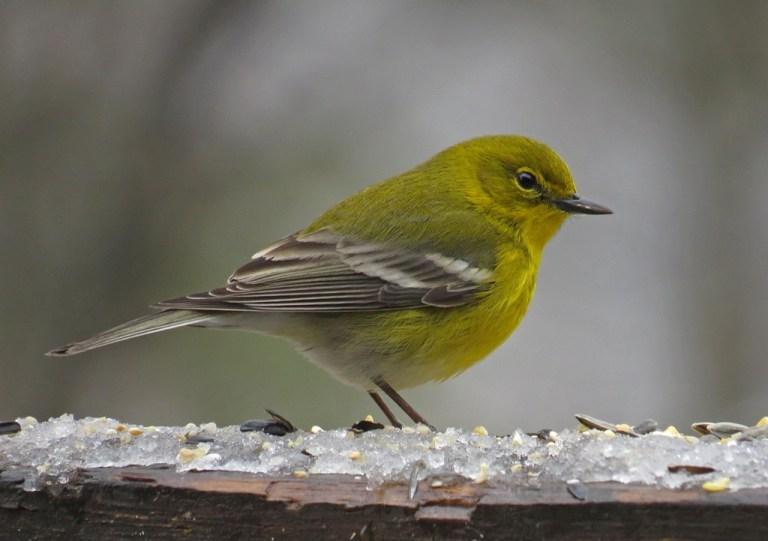 January - Pine Warbler