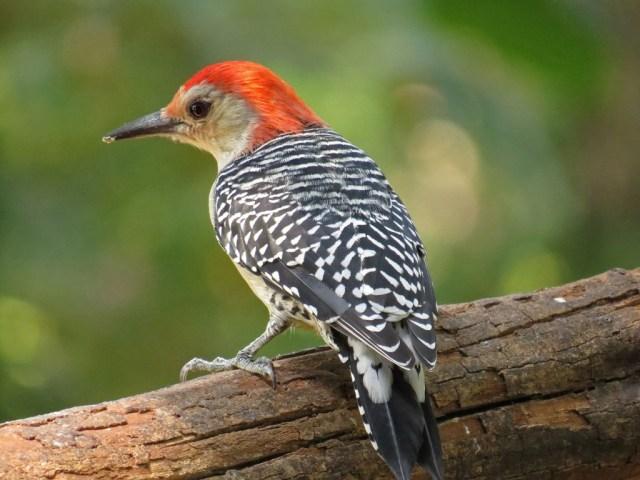 June - Red-bellied Woodpecker
