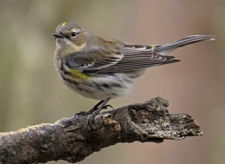March - Yellow-rumped Warbler