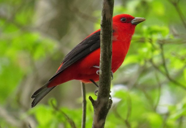 May - Scarlet Tanager