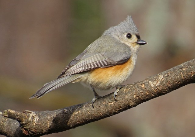November - Tufted Titmouse