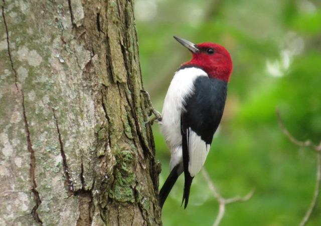 October - Red-headed Woodpecker