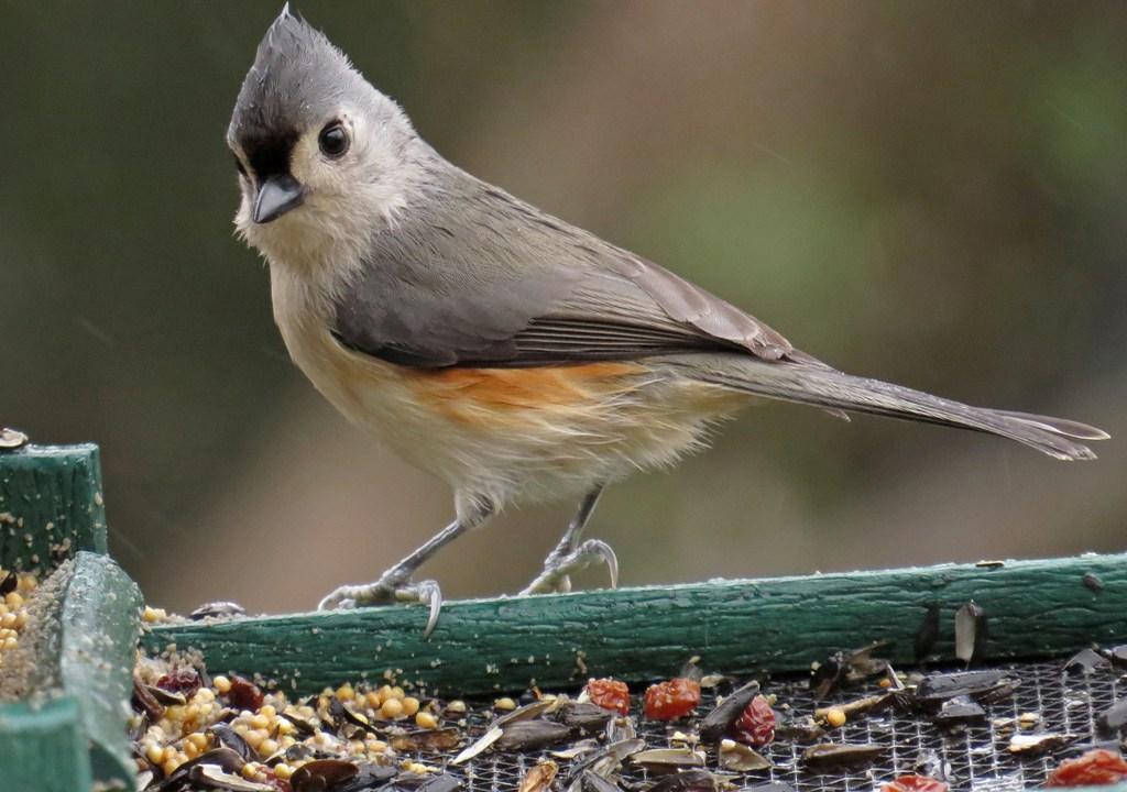 Tennessee Christmas   Backyard Bird Nerd