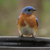 blue bird male