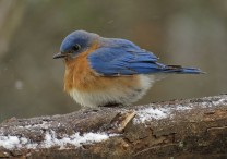 bluebird10