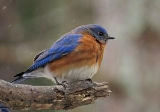 bluebird11