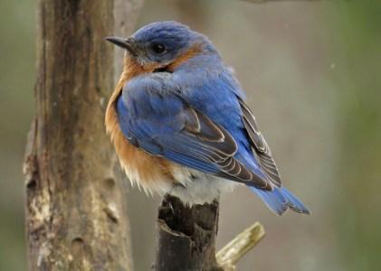 bluebird12