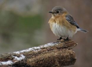 bluebird13
