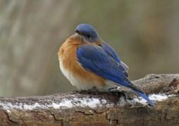 bluebird15