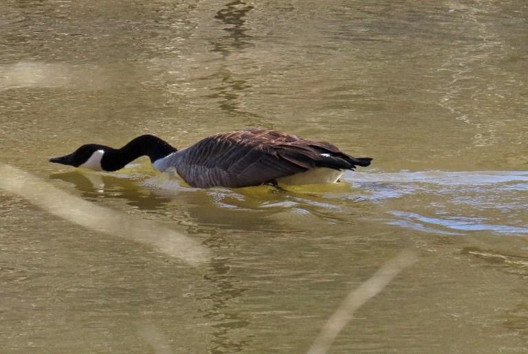 goose3
