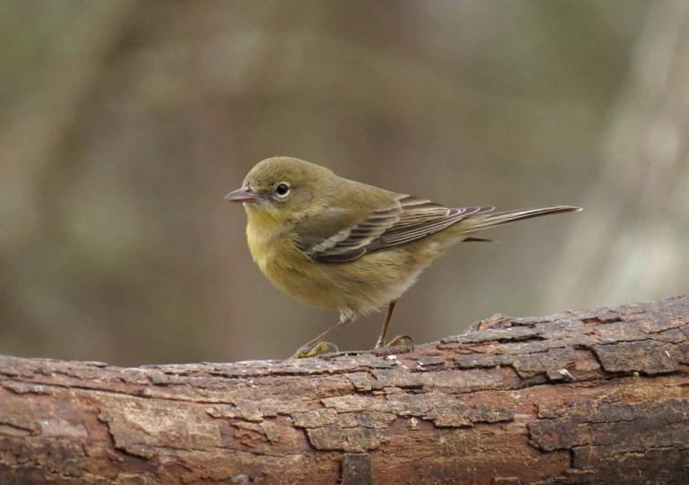 pinewarbler1