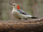 Red-bellied Woodpecker - female