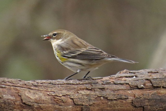yellow-rumped2
