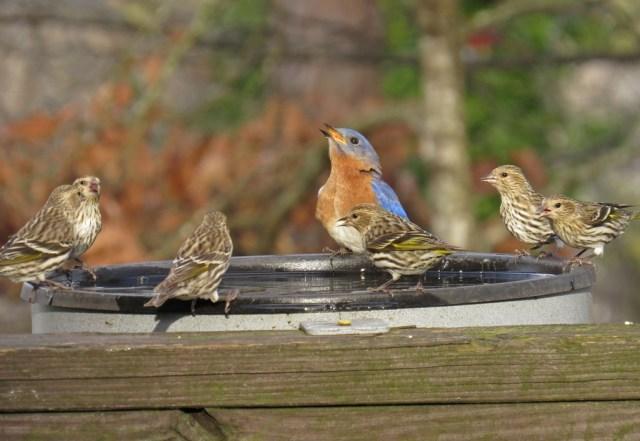 bluebird ciskin