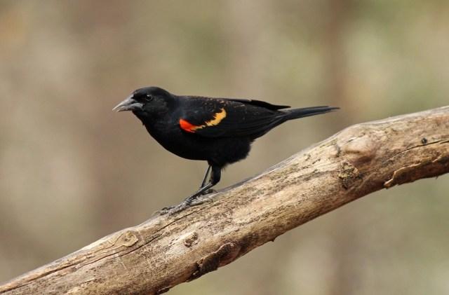 redwingblackbird