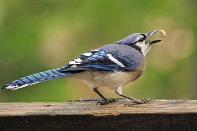 bluejay2