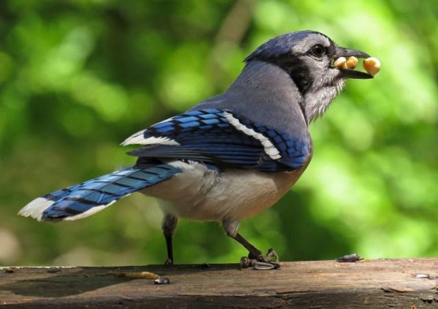bluejay3