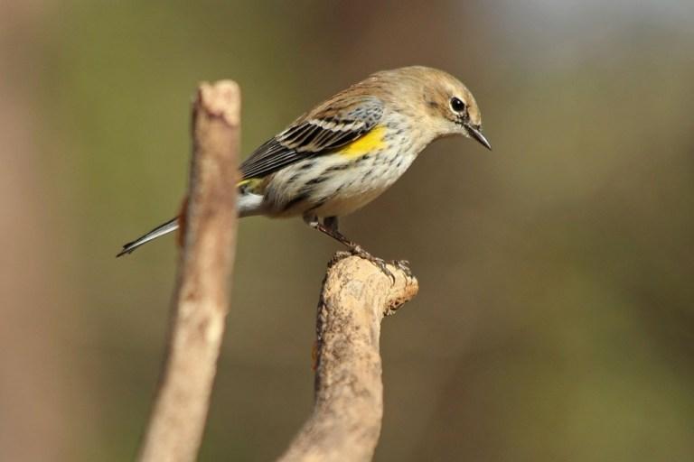 femalewarbler