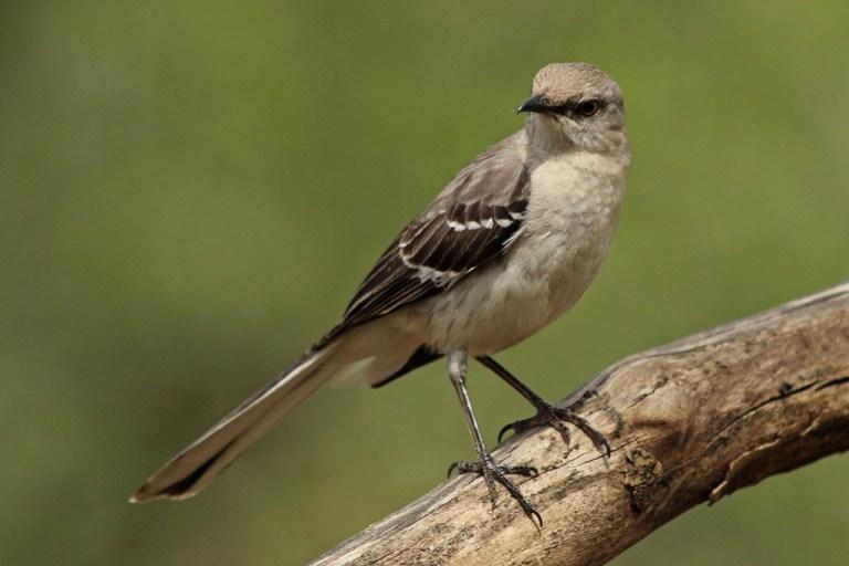 mockingbird2