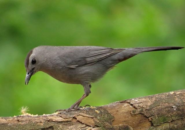 catbird8