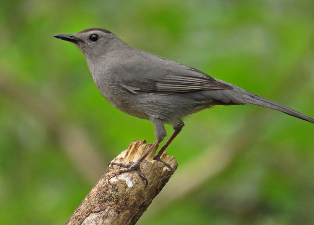 Return Of The Catbirds | Backyard Bird Nerd