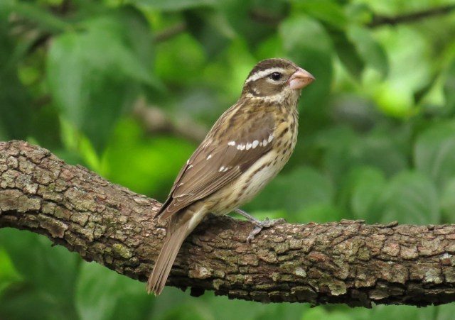 femalegrosbeak1